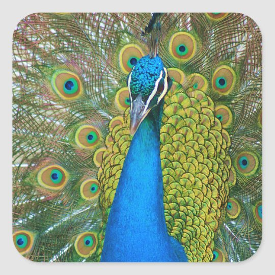 Peacock Blue Head with and Colourful Tail Feathers Square Sticker