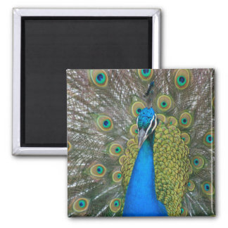 Peacock Blue Head with and Tail Feathers Fridge Magnet