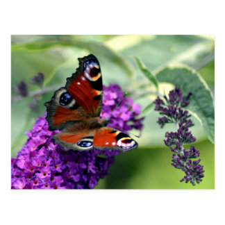 Peacock Butterfly (Inachis io) Postcard