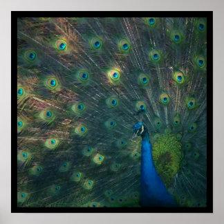 'Peacock' Canvas Print