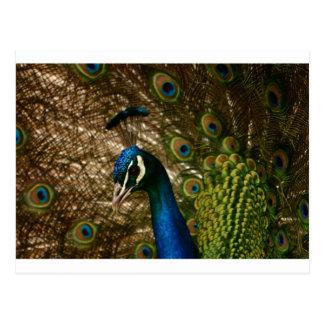 Peacock Closeup Postcard