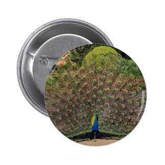Peacock Days 2 Inch Round Button