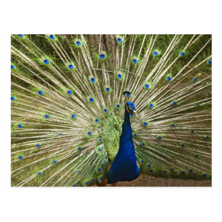 Peacock Display Postcard