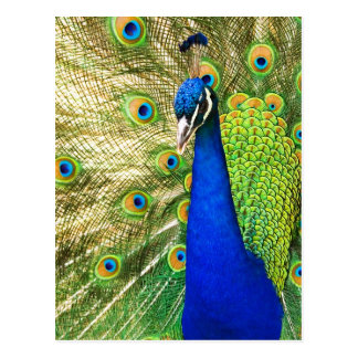 Peacock displaying its colorful plumage postcard