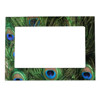 Peacock Feather Frame Magnet