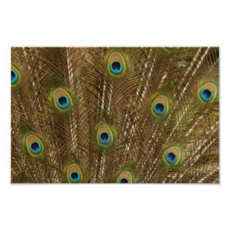 Peacock Feather Print