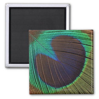 Peacock feather square magnet