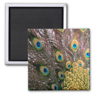 Peacock Feathers Emerald Green and Gold Square Magnet