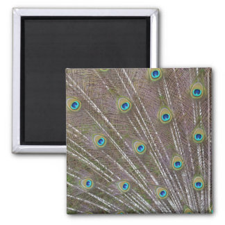 Peacock Feathers Fridge Magnet
