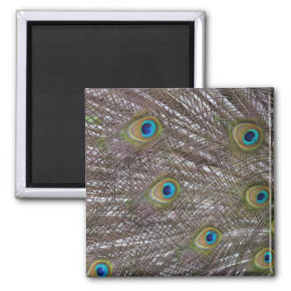 Peacock Feathers Fridge Magnet