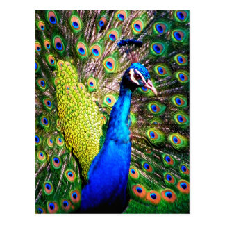 Peacock,Love_ Postcard