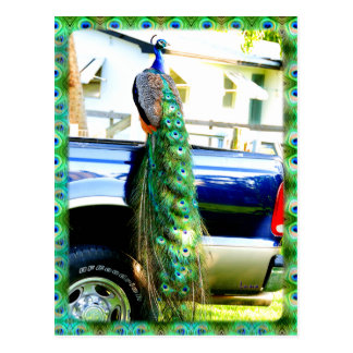Peacock on a Pickup Postcard