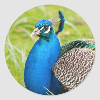 Peacock, peafowl, bird stickers, gift idea classic round sticker
