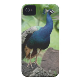 Peacock perched on rock iPhone 4 case