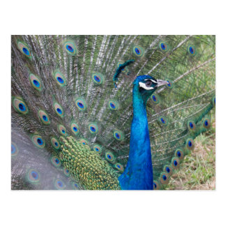 Peacock Photography Postcard