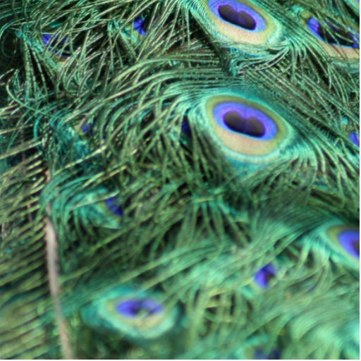 Peacock Photo Cut Out