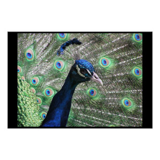 PEACOCK POSTERS