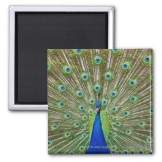 Peacock showing its feathers square magnet