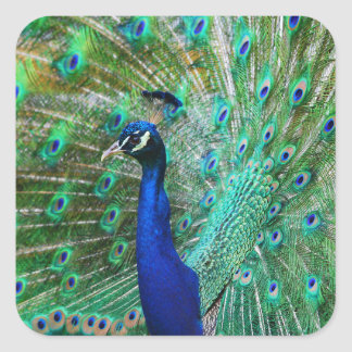Peacock sticker