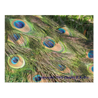 Peacock Tail Feathers Postcard