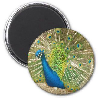 Peacock up close 2 inch round magnet