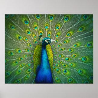 Peacock - Wildlife Art Poster 11x14