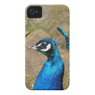 Peacock's Portrait iPhone 4 Covers