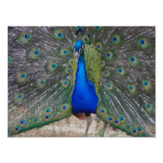 peafowl up close poster