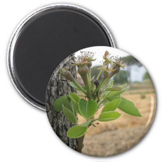 Pear tree twig with buds in spring  Tuscany, Italy 2 Inch Round Magnet
