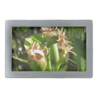 Pear tree twig with buds in spring  Tuscany, Italy Belt Buckle