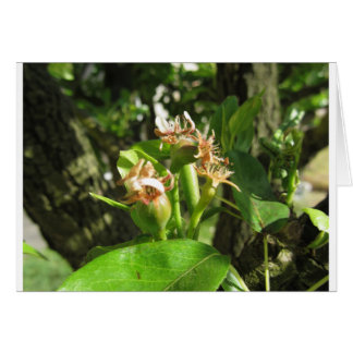 Pear tree twig with buds in spring  Tuscany, Italy Card
