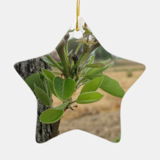 Pear tree twig with buds in spring  Tuscany, Italy Ceramic Star Ornament