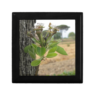 Pear tree twig with buds in spring  Tuscany, Italy Gift Box