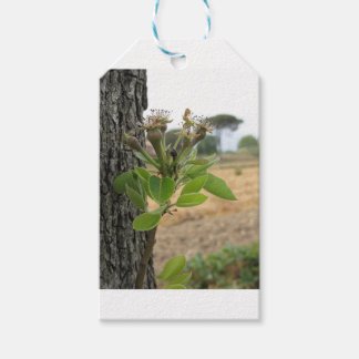 Pear tree twig with buds in spring  Tuscany, Italy Gift Tags