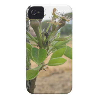Pear tree twig with buds in spring  Tuscany, Italy iPhone 4 Case