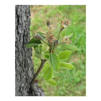 Pear tree twig with buds in spring  Tuscany, Italy Letterhead