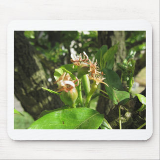 Pear tree twig with buds in spring  Tuscany, Italy Mouse Pad
