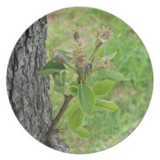 Pear tree twig with buds in spring  Tuscany, Italy Plate