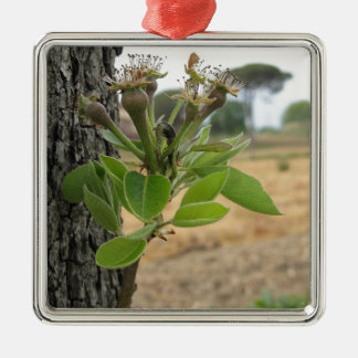 Pear tree twig with buds in spring  Tuscany, Italy Silver-Colored Square Ornament