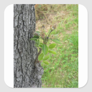 Pear tree twig with buds in spring  Tuscany, Italy Square Sticker