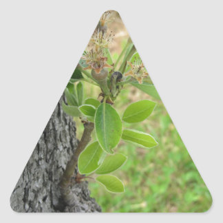 Pear tree twig with buds in spring  Tuscany, Italy Triangle Sticker