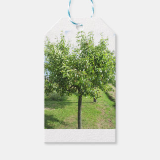 Pear tree with green leaves and red fruits gift tags