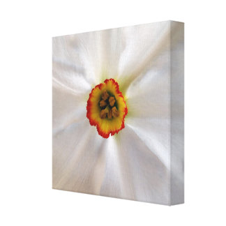 pearl white narcissus canvas print