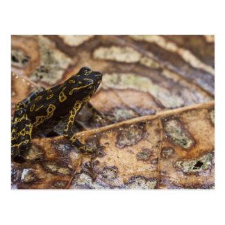 Pebas Stubfoot Toad Atelopus spumarius) Postcard