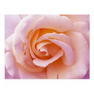 Pêche de jardin et rose anglais de rose carte postale