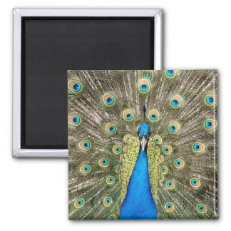 Pedro Peacock Feathers Colorful Wild Bird Peafowl Magnet