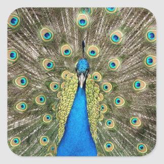 Pedro Peacock Feathers Colorful Wild Bird Peafowl Square Sticker