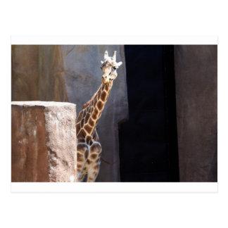 Peek-a-boo giraffe postcard