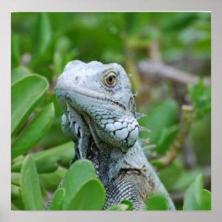 Peek-a-boo Iguana Poster