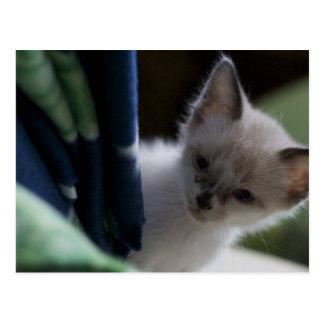 Peek-a-Boo Kitten Postcard